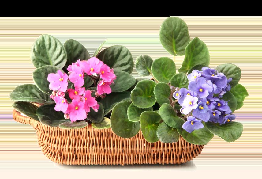 Цветок фиалка картинка для детей